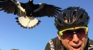 cyclist attacked by magpie