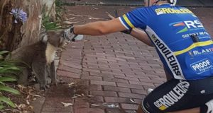 thirsty koala cyclist