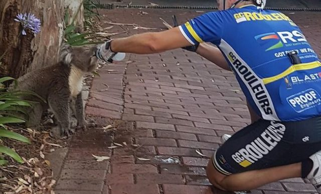 thirsty koala cyclist