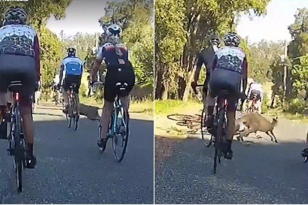 kangaroo takes out cyclis