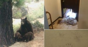bear breaks in Quick Step training camp house
