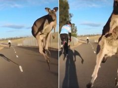 Kangaroo leaps directly at cyclist