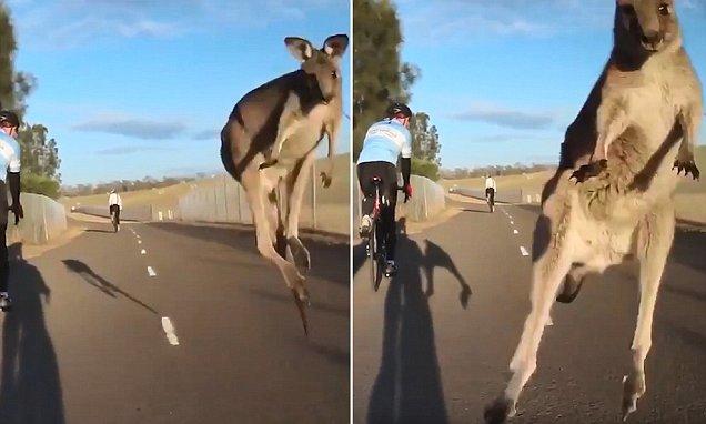 Kangaroo leaps directly at cyclist